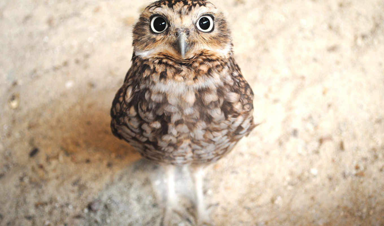 sowa, совёнок, смотрит, сова, осторожно, small, maça, пл,