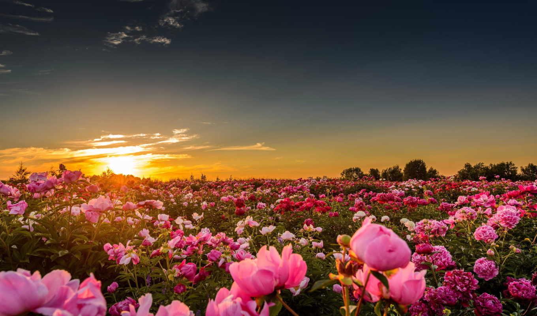 закаты, сообщения, люблю, цитата, peonies, рассветы, field, пейзажи, matrioshka,