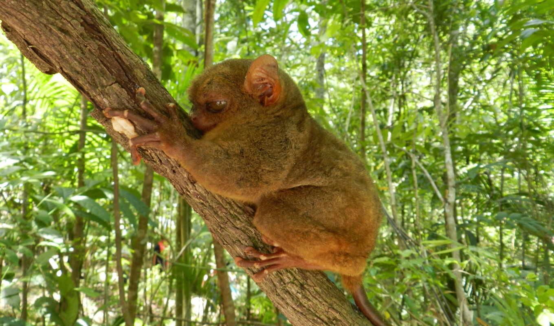 долгопят, большие, животные, глаза, sit, branch,