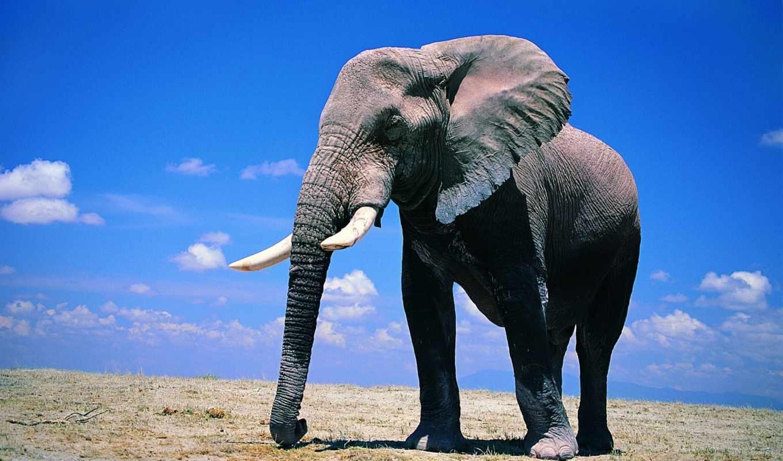 обои, слоны, wallpapers, слон, саванна, красочные,