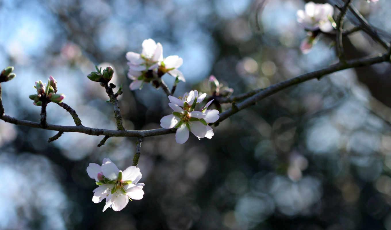 белые, цветочки, весна, макро, веточка, цветение, цветет,