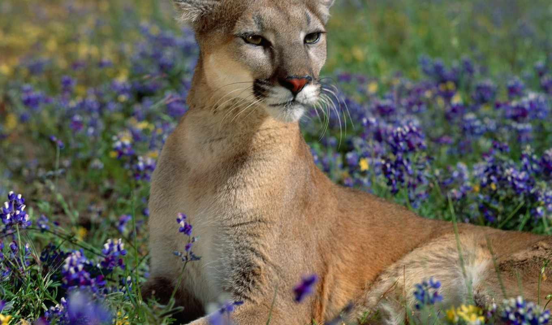 lion, puma, гора, cougar, кот, взгляд, дикая, тигр,