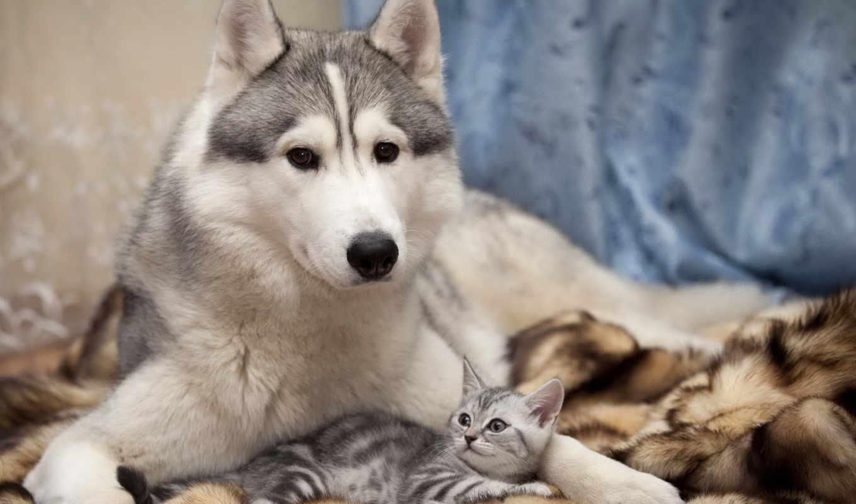 кот, дружба, собака, хаски, забота, кошки, zhivotnye,