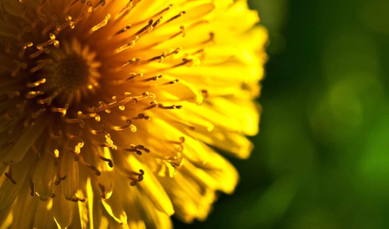,желтый,одуванчик,цветок,