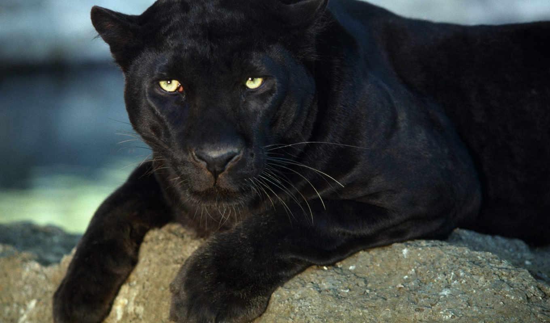 пантера, черная, животные, пантеры, black, бесплатные, банка,