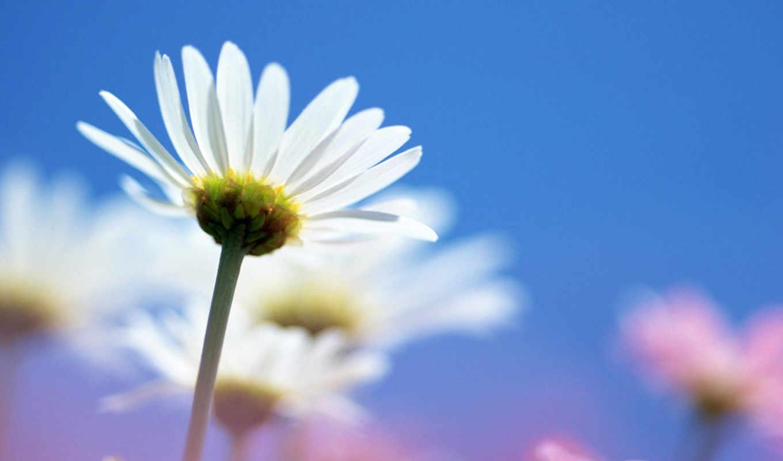 ромашки, цветы, bridget, browse, pazos, добавил, share,