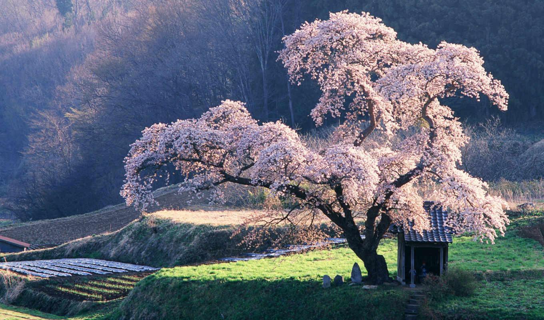 клозет, дерево, Сакура, cherry, japan,