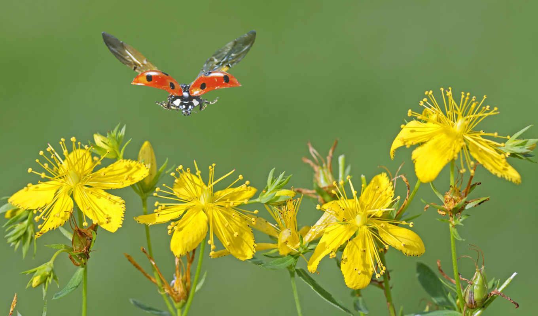 коровка, божья, коровки, божьи, желтые, полет, цветы, увеличить, korovka, крылья, bozia,