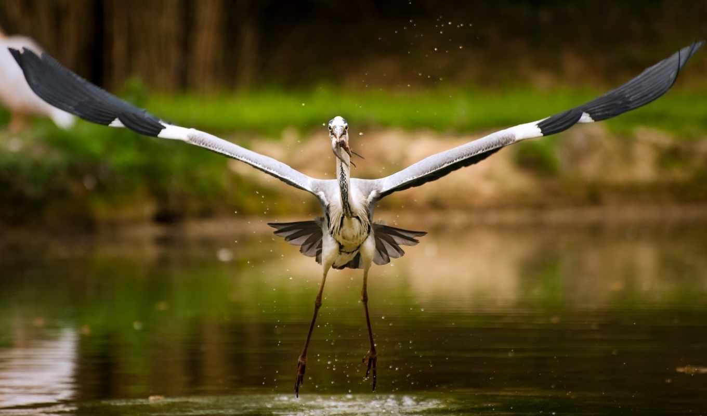 stork, рисунок, картинка, птица, озеро,