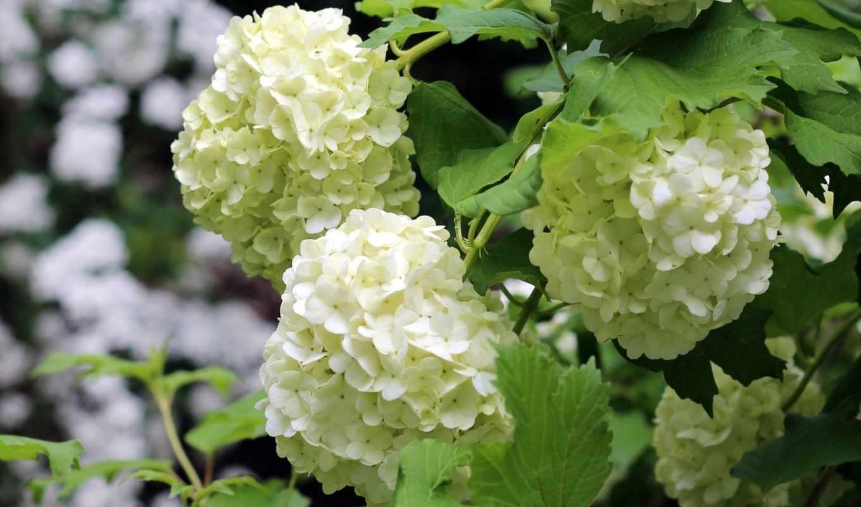 цветы, гортензия, макро, июнь,