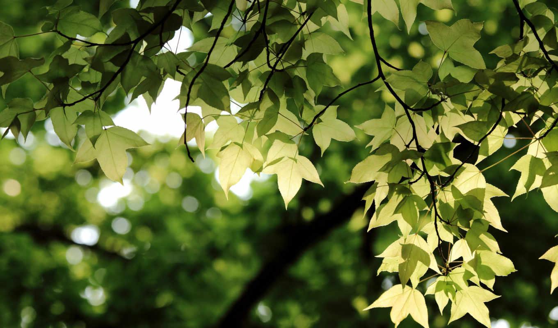 листья, ветки, зелёный, ветви, деревья, природа,