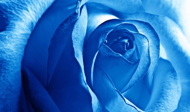 роза, розы, голубые, цветы, синяя,