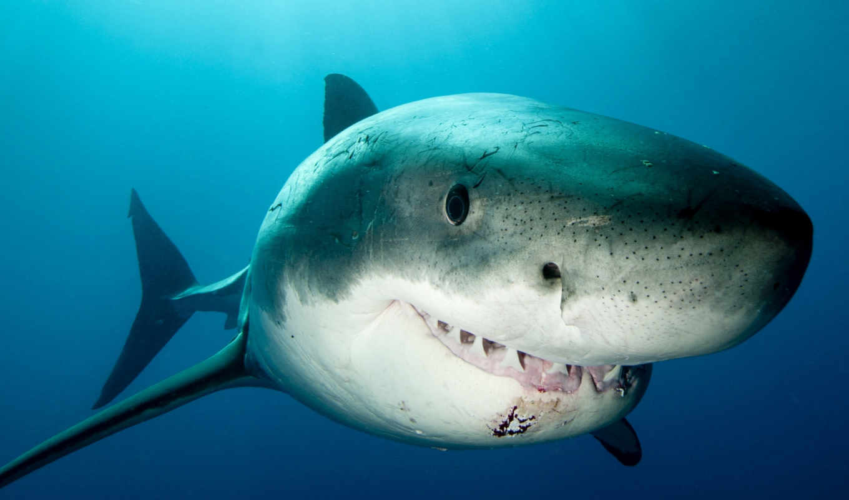 , акула, море, зубы