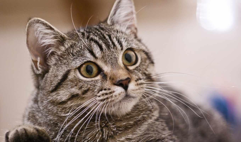 картиники, бесплатные, животные, удивленный, battlefield, кот,