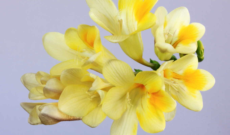 цветы, фрезия, yellow, фрезии,,