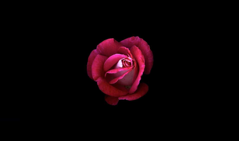 свет, petals, роза, shadow, цветы,лепестки,
