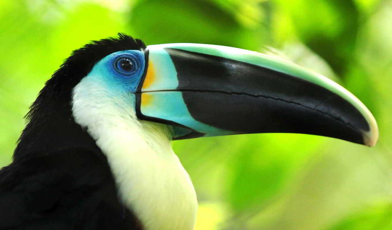toucan, клюв, птица, птицы,