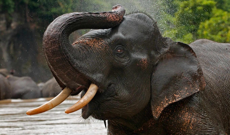 слоны, слон, zhivotnye, слона, красивые, индийские,