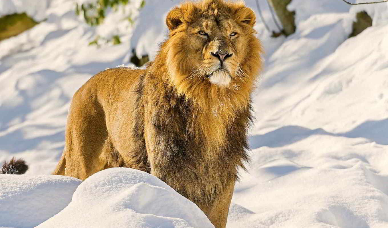 lion, грива, морда, хищник, снег, смотреть, asian,