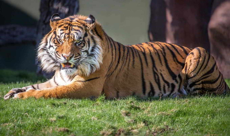оскал, клыки, тигр, lion, тигра, хищник,