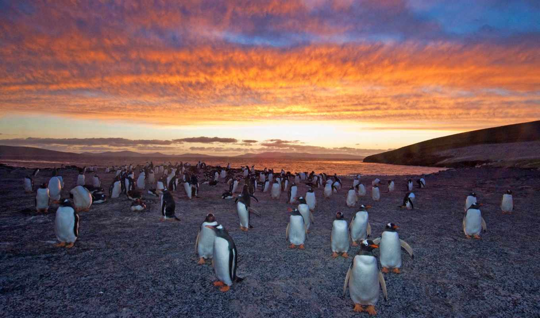 gentoo, penguins, пингвин, антарктида, колония, закат, charles,