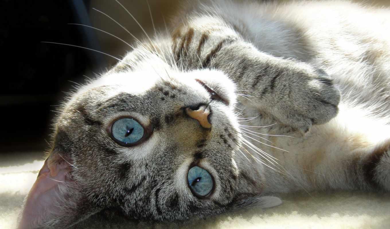 голубыми, глазами, кот, свет, голубые, кошек,