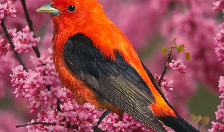птицы, птица, красная, even, том, янв, деда, eu, красивые, редкие,