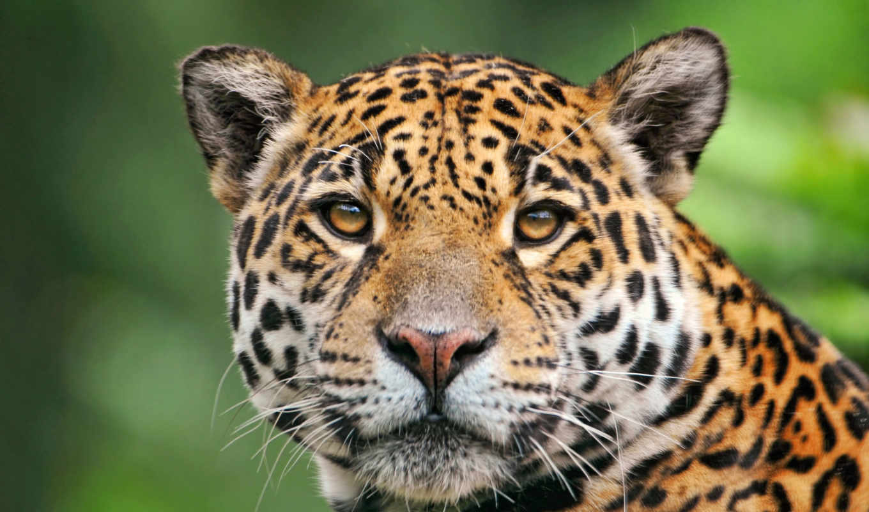 jaguar, красавец, zhivotnye, ягуары, black,