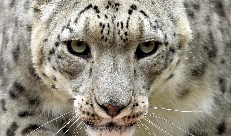 снег, panther, ирбис, биг, взгляд,