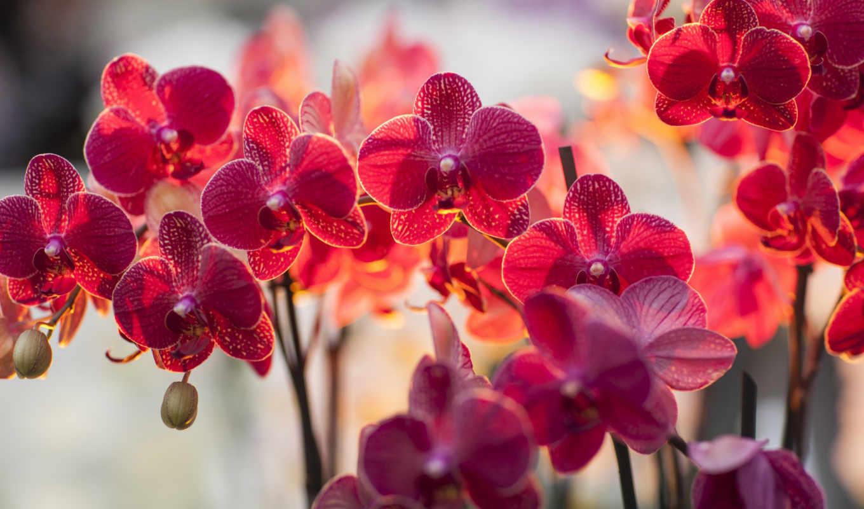 орхидея, цветы, орхидеи, розовые, лепестки, branch,