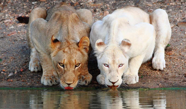 животных, mais, leao, lion, grande, del, яndex, львы, mundoel, альбиносов,