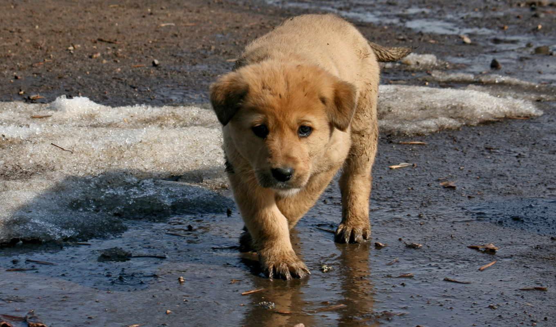 обои, животные, фото, собаки, ретривер, весна, gt,