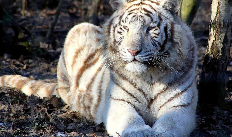 tigre, blanc, тигры, animal, photos, panthère, балла, france, tags,