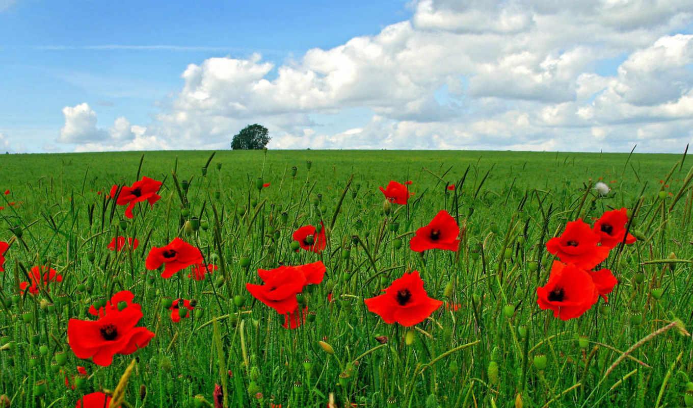 маки, красные, поле, зеленом, знакомо, рай, каждому, дверцы, открываются, душу, радуют, разрешениях, сердце, думаю, разных,