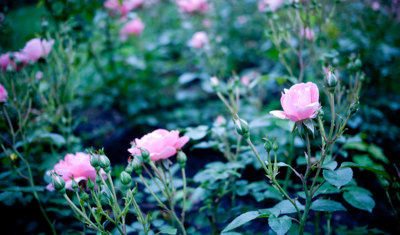 мар, розы, цветы,