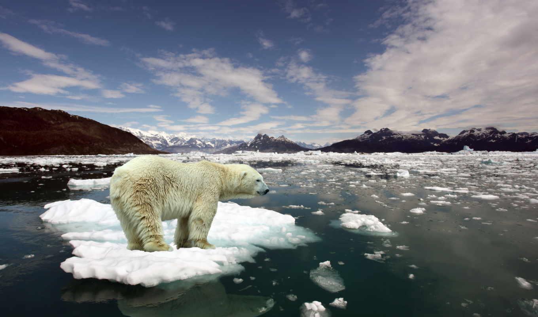 white, медведь, плывёт, фев, льдине,