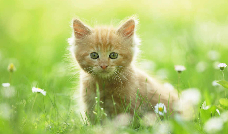summer, котенок, red, трава, ромашки,