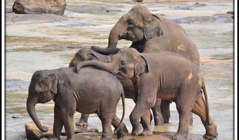 слон, indian,