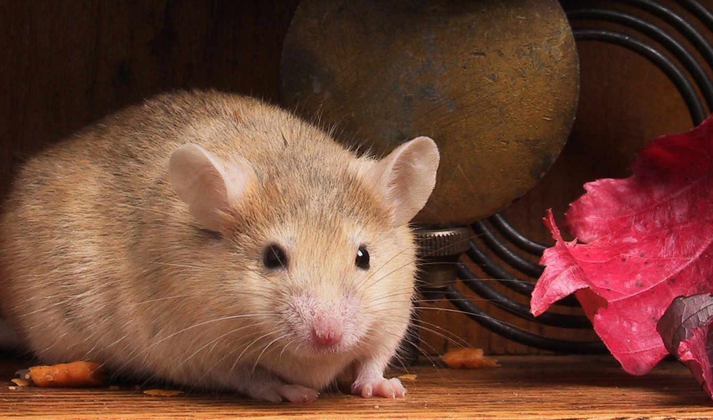 Картинки толстая мышь