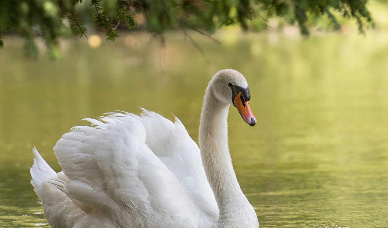 белый, лебедь, птица, вода,