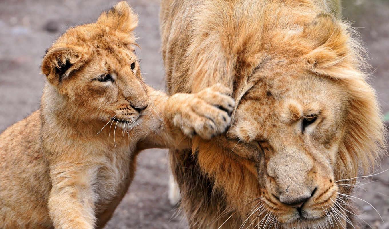 lion, львята, взгляд, львица, зверей, самом, деле,