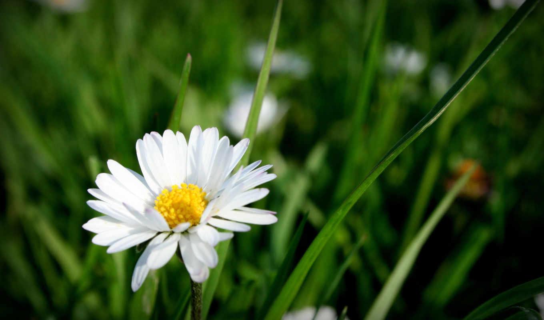 природа, травка, ромашка, лето, цветок, цветение, rar, различной, качественные, широкоформатные, тематики,