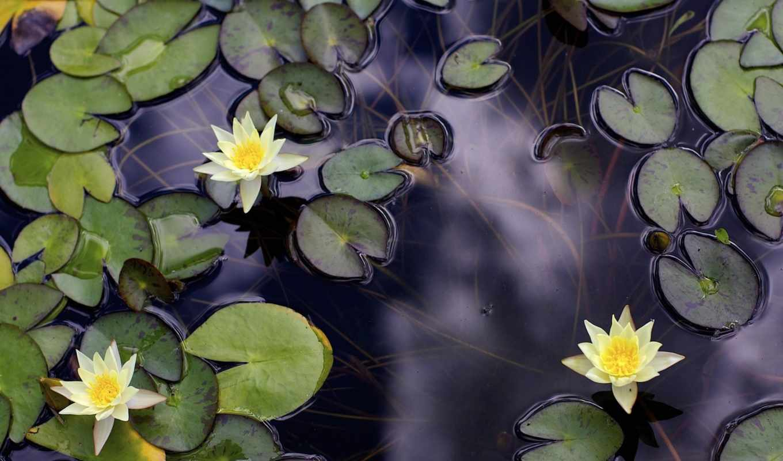 depth, water, телефон, lilies, ноутбук, планшетный, пруд, mobile,
