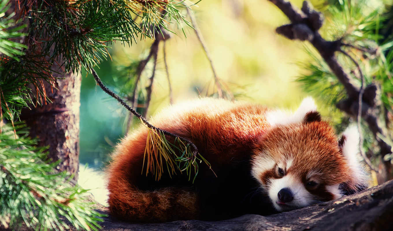 панда, красная, firefox, спит,