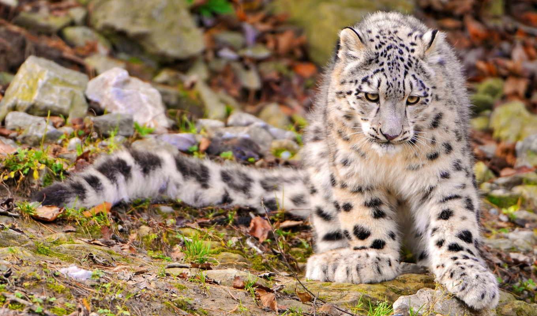 снег, леопард, морда, яndex, uncia, горах, эмоции,