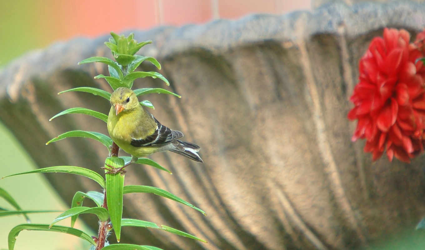 wallpapers, download, page, desktop, goldfinch, to