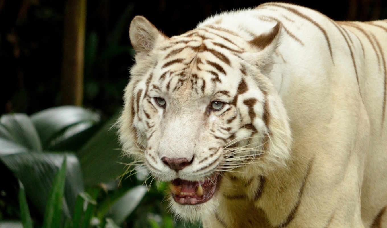 , тигр, белый, хищник,