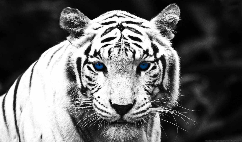 леопард, снег, тигр, голубые, свет, белоснежная, panther, чёрно, дек, шубка, белое,