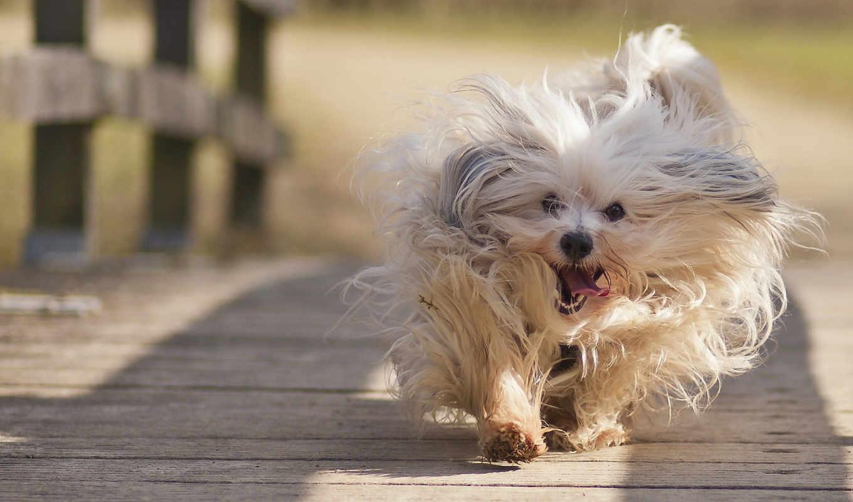 zhivotnye, собаки, бишон, движении, гаванский, животных, смешные, shooting, собака,