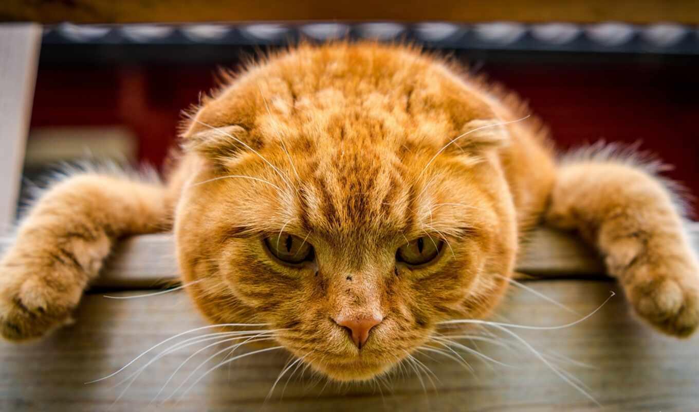 кот, red, лапа, голова, взгляд